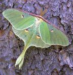 MothLuna