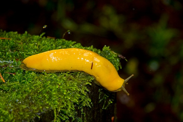 banana_slug_2