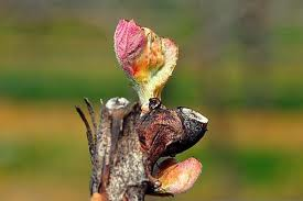 budbreak