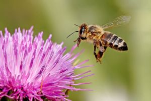 Honeybee_landing_on_milkthistle02