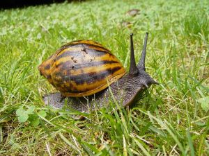 giant_tiger_snail