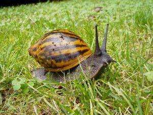 giant_tiger_snail