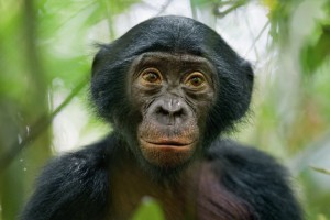 03-bonobo-aka-pygmy-chimpanzee-670